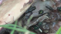 Disgusting Flies on Dog Skeleton on Grass, Fly Flies, Insects in Flight, Macro  Stock Footage