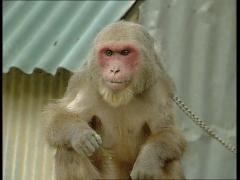 Red faced monkey Stock Footage
