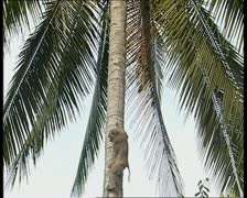 Monkey climbing coconut tree - stock footage