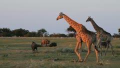 Two giraffe walking at sunset Stock Footage