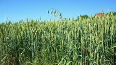 Wheat field _7 Stock Footage