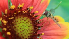 Syrphidae insects collecting nectar in composite family plants flowers Stock Footage