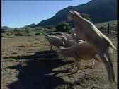 Jumping sheep Stock Footage