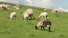 Sheep grazing, yorkshire dales Stock Footage