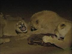 Lions fighting over food at night Stock Footage