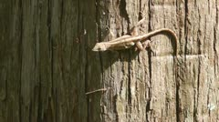 Jumping Brown Anole Stock Footage