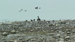 Duck with ducklings by lake Stock Footage