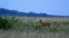 Roe buck Stock Footage