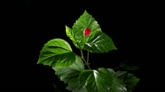 Blooming red Hibiscus on a black background (Hibiscus rosa-sinensis L.) (Time La Stock Footage