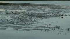 Seagulls in the tidal marsh Stock Footage