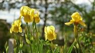 Irises in Garden Stock Footage