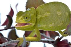 Chameleon are a distinctive and highly specialized clade of lizards. Stock Photos