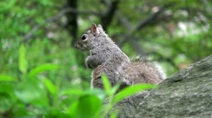 Wild squirrel in the park Stock Footage