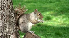 Wild squirrel in the park - stock footage