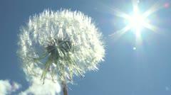 Dandelion and Sun Stock Footage