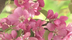 Pink Blossoms 03 Stock Footage