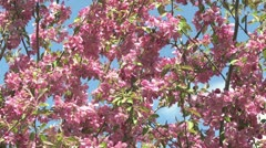 Pink Blossoms 04 Stock Footage