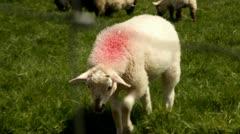 Irish sheep.Kerry.clip.34 Stock Footage
