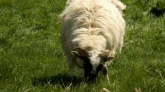 Irish sheep.Kerry.clip.36 - stock footage