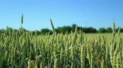 Wheat field (close up) _2 Stock Footage