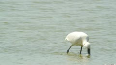 Spoonbill Stock Footage