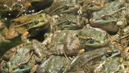 Jumping Staring Leopard Frog Stock Footage