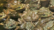 Stock Video Footage of Pile Of Frogs