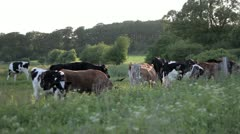Cows and Grass Stock Footage