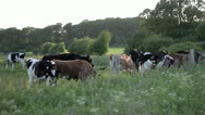 Stock Video Footage of Cows and Grass