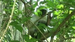 Monkey sitting in tree and eating leaves Stock Footage