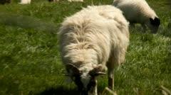 Irish sheep.Kerry.clip.35 Stock Footage