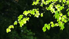 Lush Silver Birch Leaf in a gentle breeze Stock Footage