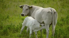 Cow with young Stock Footage