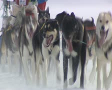 Sled Dogs in Spitsbergen during a field trip Stock Footage