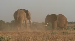 Elephants bulls fighting in the plains 1 Stock Footage