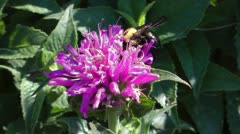Bumblebee close up in pink aster flower - stock footage