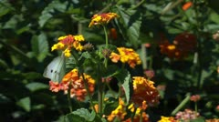 Two white butterflies in the garden Stock Footage