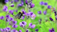 Beautiful bumblebee flying from purple flower to purple flower Stock Footage
