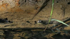 Frog and tadpoles moving in water Stock Footage