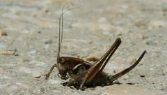 Dark Bush Cricket, Pholidoptera griseoaptera Stock Footage