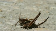 Stock Video Footage of Dark Bush Cricket, Pholidoptera griseoaptera