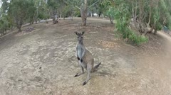 Kangaroo jump in super slow motion.mp4 Stock Footage