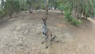 Stock Video Footage of kangaroo jump in super slow motion.mp4