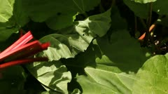 Rhubarb picked in garden 4 Stock Footage