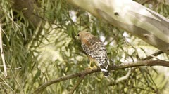 Red Shouldered Hawk On Branch (HD) Stock Footage