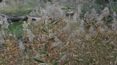 Reed grass moving in the wind Marma State Forest, Lubeck, Victoria, Australia Stock Footage