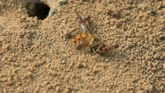 Ants drag syrphidae insects to their nest Stock Footage