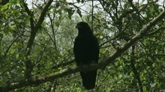 Carrion crow - Corvus corone sitting on tree branch 02p zoom out Stock Footage