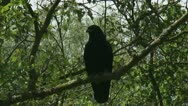 Stock Video Footage of Carrion crow - Corvus corone sitting on tree branch 02p zoom out
