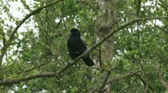Carrion crow - Corvus corone sitting on tree branch 01p Stock Footage